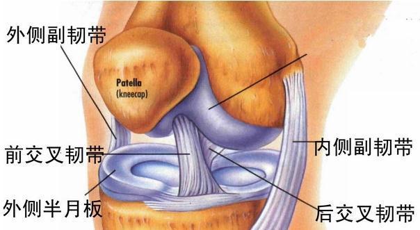 膝关节韧带