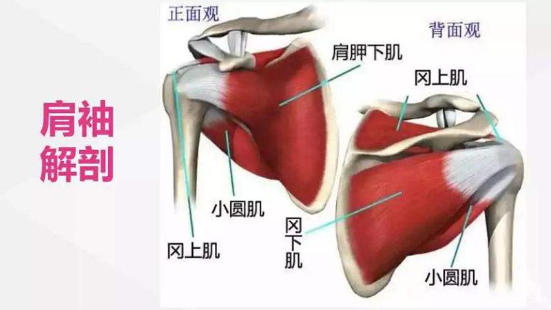 肩袖解剖图