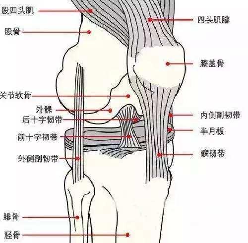 膝关节构造图韧带图