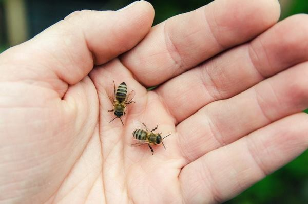 蜂毒注射液